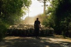 Gregge a Monte Poro - Schafherde auf dem Monte Poro